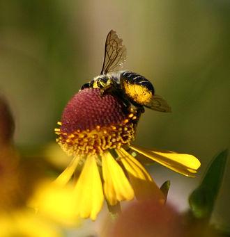 Scopa (biology) - Abdominal scopa of Megachile on a composite