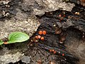 Scutellaria and Brown Cup Fungus (3260891165).jpg