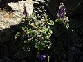 Scutellaria indica parviflora 1.jpg