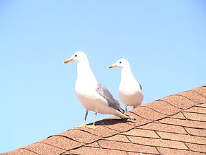 California gull - California gulls on a rooftop on Antelope Island, Utah