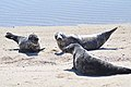 Seals at Nantucket National Wildlife Refuge (5961875024).jpg