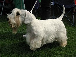 Sealyham terrier 230809.JPG