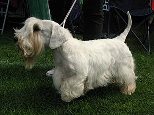 Sealyham Terrier - A Sealyham Terrier