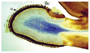 Brain - Cross section of the olfactory bulb of a rat, stained in two different ways at the same time: one stain shows neuron cell bodies, the other shows receptors for the neurotransmitter GABA.