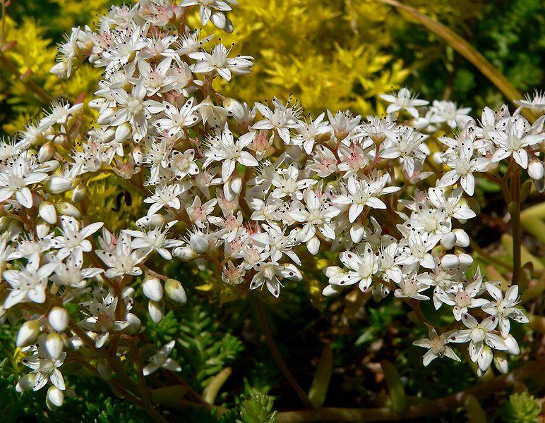 File:Sedum album flowers.jpg