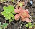 Sedum cepaea plant (10).jpg