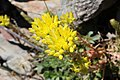 Sedum rupestre subsp. reflexum (14970686978).jpg