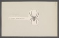 Selenops - Print - Iconographia Zoologica - Special Collections University of Amsterdam - UBAINV0274 068 09 0002.tif