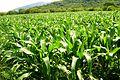 Sembradios de maiz en el varal - panoramio.jpg