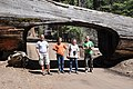 Sequoia Park, Tunnel Log, Wikiexpedition 2012 USA crew.jpg