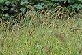 Setaria viridis (22359894796).jpg
