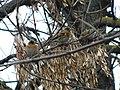 Severne zebe (Fringilla montifringilla); Bramblings.jpg