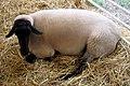 Sheep (121696491).jpg