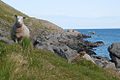 Sheep Lofoten.jpg
