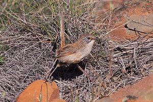 Short-tailed grasswren - Image: Short tailed Grasswren (Amytornis merrotsyi)
