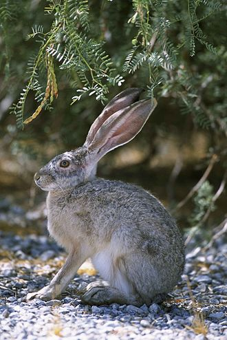 Hare - Image: Side view close up of rabbit sitting on gravel under brush