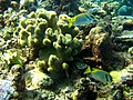 Siganus doliatus en Gran Barrera de Arrecife.jpg