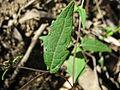 Sigesbeckia orientalis leaf1 (15957412379).jpg