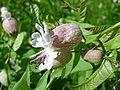 Silene vulgaris 2 (2005 08 28).jpg