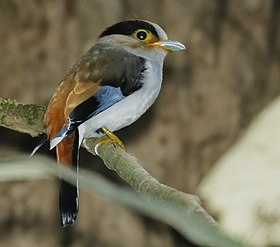 Silver-breasted Broadbill 2.jpg