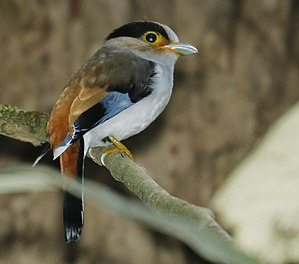 Silver-breasted broadbill - Kaeng Krachan Nat'l Park - Thailand (flash photo)