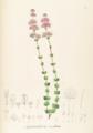 Siphanthera cordata Pohl84.png