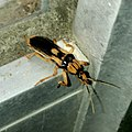 Sirthenea flavipes on the door of Convenience stores - 3.jpg
