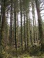 Sitka plantation, Nant -yr-hwch - geograph.org.uk - 749556.jpg
