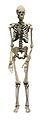 Skeleton of a man Wellcome V0029413.jpg