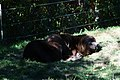 Sleeping bear 2 (1487521328).jpg