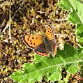 Small Copper butterfly (21473101473).jpg