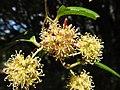 Smilax ovalifolia.JPG