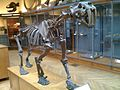 SmilodonSkeleton.jpg