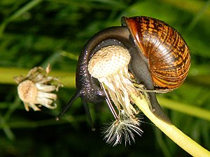 Gastropoda - Snail eating a dandelion flower