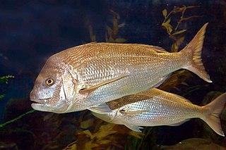 Australasian snapper Species of fish