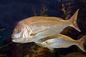 Australasian snapper - Australasian snapper, Pagrus auratus, at Melbourne Aquarium.