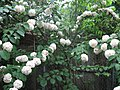 Snowball bush.jpg