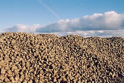 Sockerbetor på Gotland