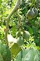 Solanum betaceum à São Tomé (6).jpg