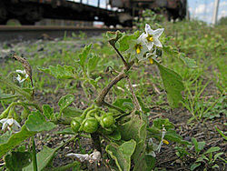 Solanum physalifolium 001.jpg
