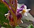 Solanum quitoense in Jardin des Plantes de Toulouse 01.jpg