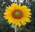 Sonnenblumenbluete.jpg
