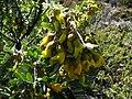Sophora chrysophylla (4736580569).jpg