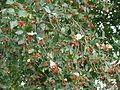 Sorbus badensis 170911a.JPG