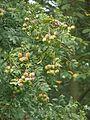Sorbus domestica 150912a.jpg