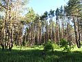 Sosnovka Bekovo 2015 Forest in the Valley of Khopyor River 03.JPG