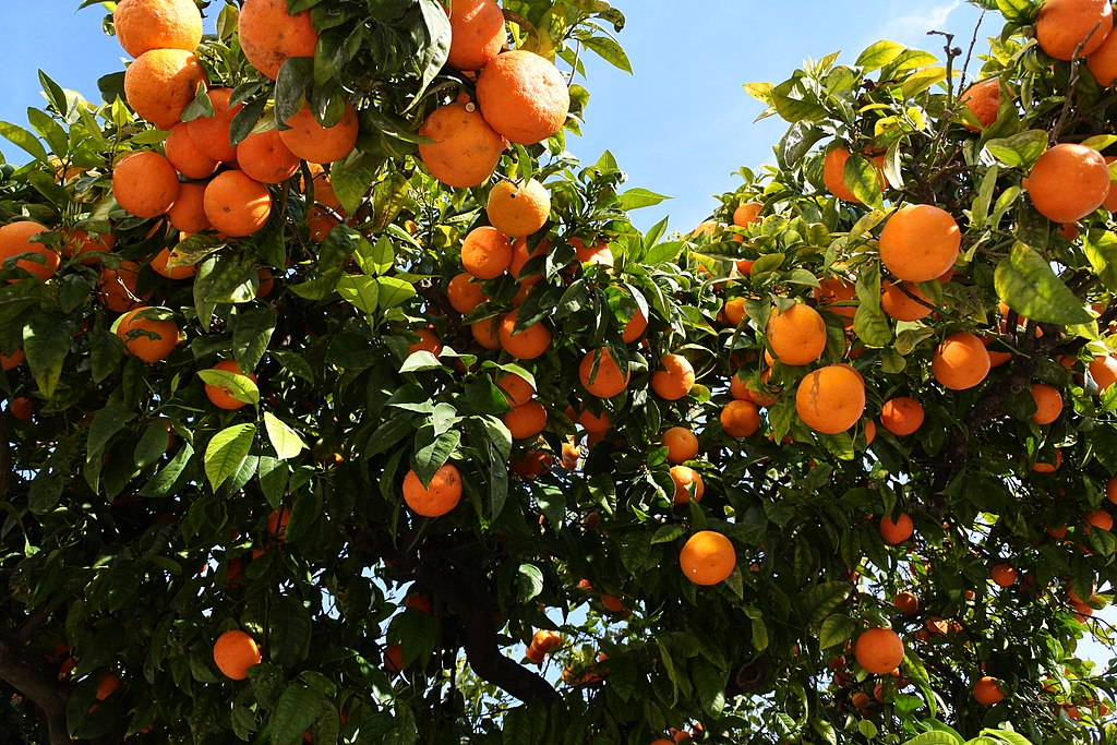 Sour oranges (32455406790)