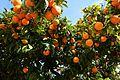 Sour oranges (32455406790).jpg