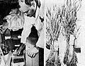Soy beans in Brookhaven, Aneka Amerika 102 (1957), p20.jpg