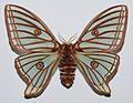 Spanish Moon Moth (Graellsia isabellae) female (8385367690).jpg